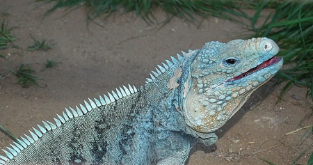 Cyclura Nubila For Sale Images