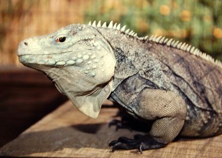 Blue Cayman Iguana For Sale