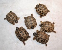 Group of six newly hatched on 10/10/2018 Radiated Tortoises